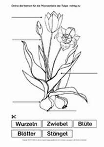 Aufbau Einer Blume : unterrichtsmaterial u arbeitsbl tter f r die grundschule ~ Whattoseeinmadrid.com Haus und Dekorationen