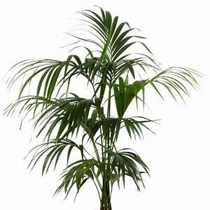 Plantes Et Jardin : palmier kentia howea forsteriana plantes et jardins ~ Melissatoandfro.com Idées de Décoration