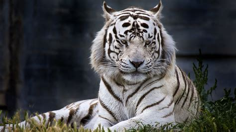 White Tiger Wallpapers Images Photos Pictures Backgrounds HD Wallpapers Download Free Images Wallpaper [1000image.com]