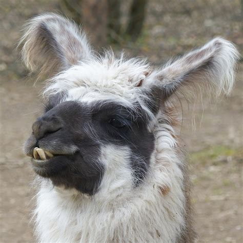 llama alpaca head  photo  pixabay