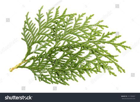 Leaves Of Pine Tree Or Oriental Arborvitae , Scientific