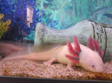 poisson eau froide pour petit aquarium axolotls hibiens poissons d eau froide aquarium achat vente animaux angerville bailleul