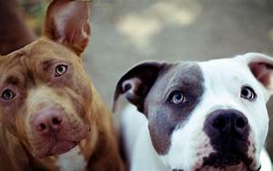 Pit bull Dog Wallpapers, Pictures, Images