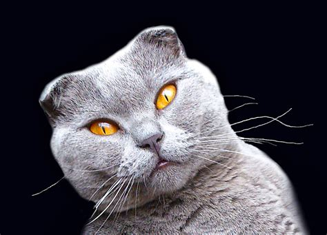 scottish fold  stock photo public domain pictures