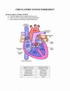 1  Circulatory System Worksheet