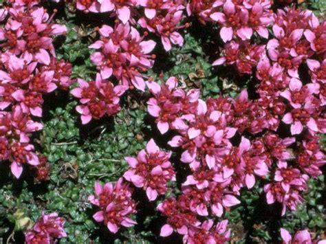 piante ricanti per terrazzo piante da terrazzo perenni con 15 erbacee perenni a