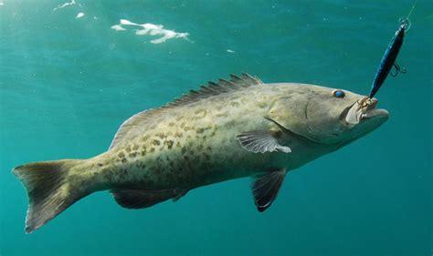 florida underwater grouper gag fish saltwater trolling fishing lures south sportfishingmag shallow rap redfish winter arnold jason rapala patch ticket