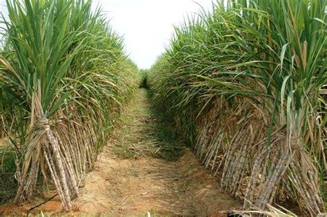 ton brands sugarcane cultivation information guide farming