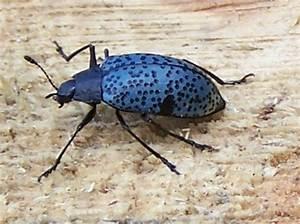 Pretty blue bug - Gibbifer californicus - BugGuide.Net