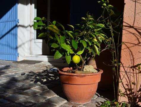 maladie citronnier en pot 28 images citronnier en pot malade arbres arbustes et rosiers