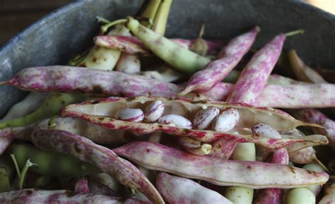 cuisine companion pinto bean information tips on growing pinto beans