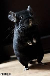 Billy - chinchilla extra dark ebony! :)