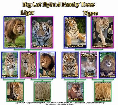 Liger Ligers Tigons Different Lions Tigers Crossbreeding