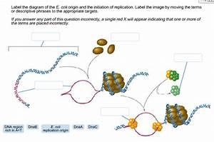 Solved  Label The Diagram Of The E  Coli Origin And The In