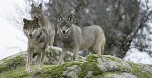 U00bfha Regresado El Lobo