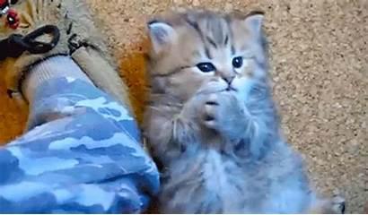 Kitten Paws Licks Funny Kittens Animal Licking