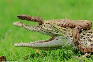 Snake Slithers Into A Baby Crocodile U0026 39 S Mouth At A