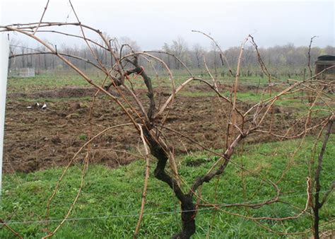 pruning grape vines fall spring photo gallery