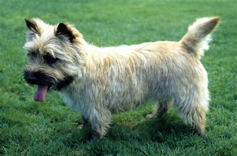 cairn terrier non shedding 100 cairn terrier non shedding small dogs cairn
