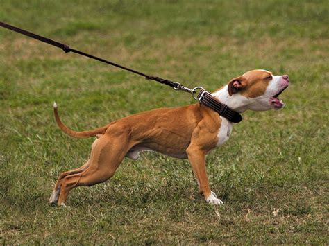 bull terrier colors american pit bull terrier color chart american
