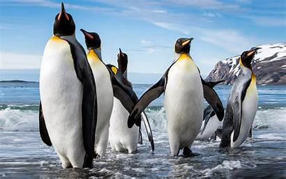 Penguin Emperor Desktop Aptenodytes Forsteri Height Reaching