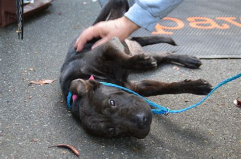 Dogs Cats Puppies And Kittens Arrive At Paws For Rescuebig Initiative My Edmonds News