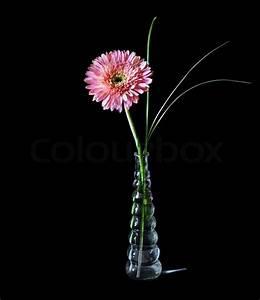 Einzelne Blume Vase : rosa gerbera in glasvase auf schwarzem hintergrund isoliert stockfoto colourbox ~ Indierocktalk.com Haus und Dekorationen