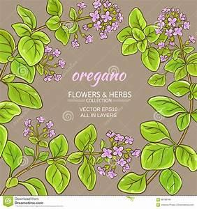 Oregano Vector Frame Stock Vector - Image: 96198146