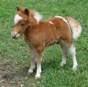 Miniature Horse Babies for Sale