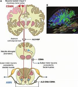 A   Schematic Diagram Of The Cortical Motor System  The