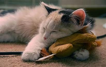 Cats Cat Animals Sleeping Pets Desktop Sleep