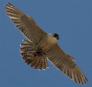 Peregrine Falcon   San Diego Bird Spot  Falcon