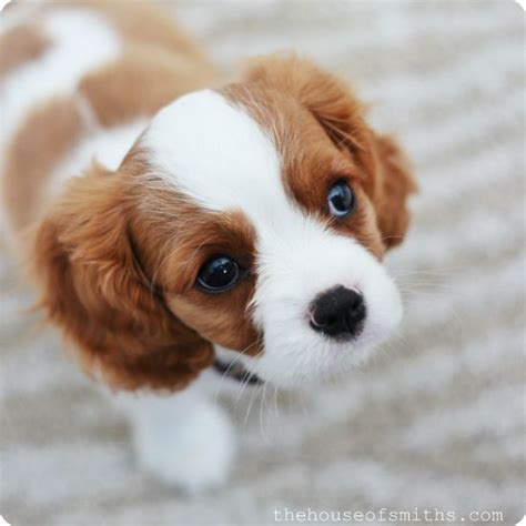 spaniel shed cavalier king charles spaniel shed a lot