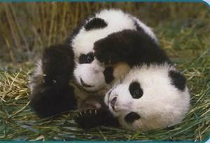 Surviving Life: Panda Cub Opens Eyes at San Diego Zoo