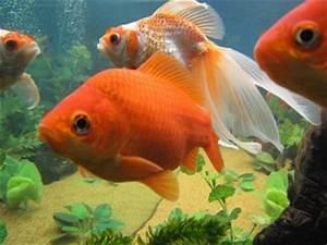 Care Sheet For Goldfish Carassius auratus