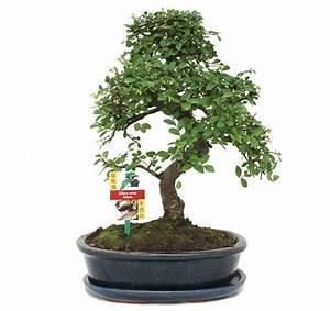 Bonsai Chinesische Ulme : bonsai chinesische ulme ulmus parviflora ca 10 jahre ebay ~ Sanjose-hotels-ca.com Haus und Dekorationen