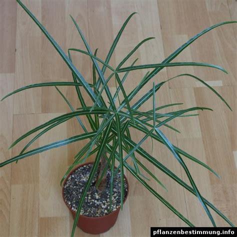 Australischer Flaschenbaum Zimmerpflanze by Brachychiton Rupestris