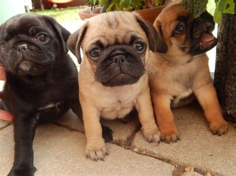 204 Best Silver & Apricot Pug Puppies Images On Pinterest