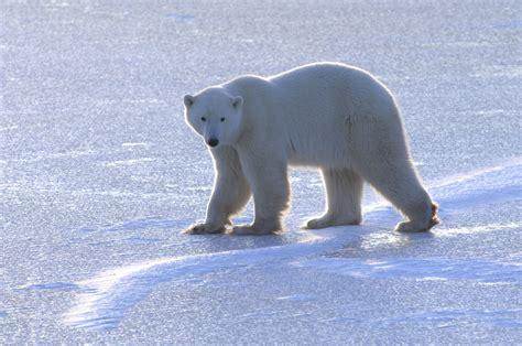 Largest Pumpkin Ever Weight by 5 Weird Facts About Polar Bears