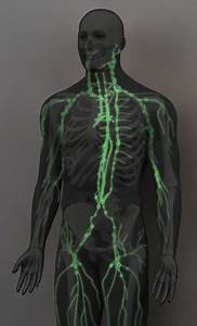 3d Male Lymphatic System Model