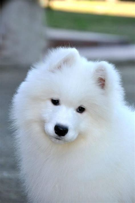 Best 25 Samoyed Puppies Ideas On Pinterest Samoyed Dog