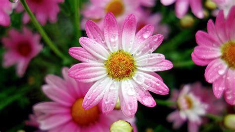 wallpaper marguerite daisies pink daisies drops