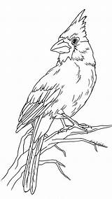 Cardinal Bird Patterns Drawings Burning Wood Drawing Coloring Pencil Animal Animals Pages Drawn Hand Adult Painting Books sketch template
