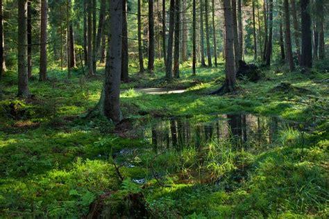 Ignoring Scientists, Poland Begins Logging Famous Primeval