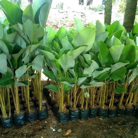 daftar harga tanaman hias calathea pisang terbaru