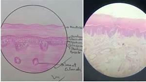 Histology Slides For Beginners Anatomy Histology Slides