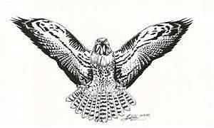 Drawn Hawk Pencil And In Color Drawn Hawk