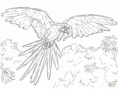 Macaw Coloring Pages Yellow Printable Scarlet Super