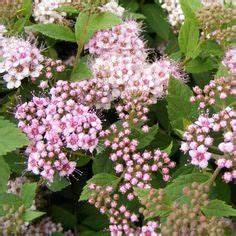 viorne obier rose boule de neige rose de gueldre With decoration d un petit jardin 15 boule de neige plante en ligne