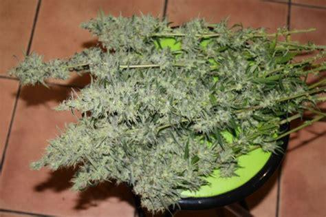 chambre de pousse cannabis cultiver du cannabis avec des les basses consommation